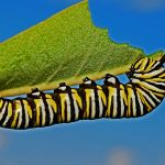 You are a Caterpillar in Metamorphosis