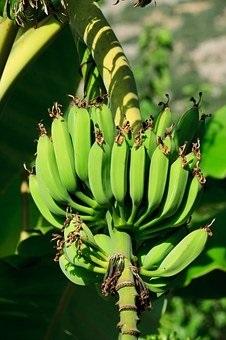 Life as a Banana